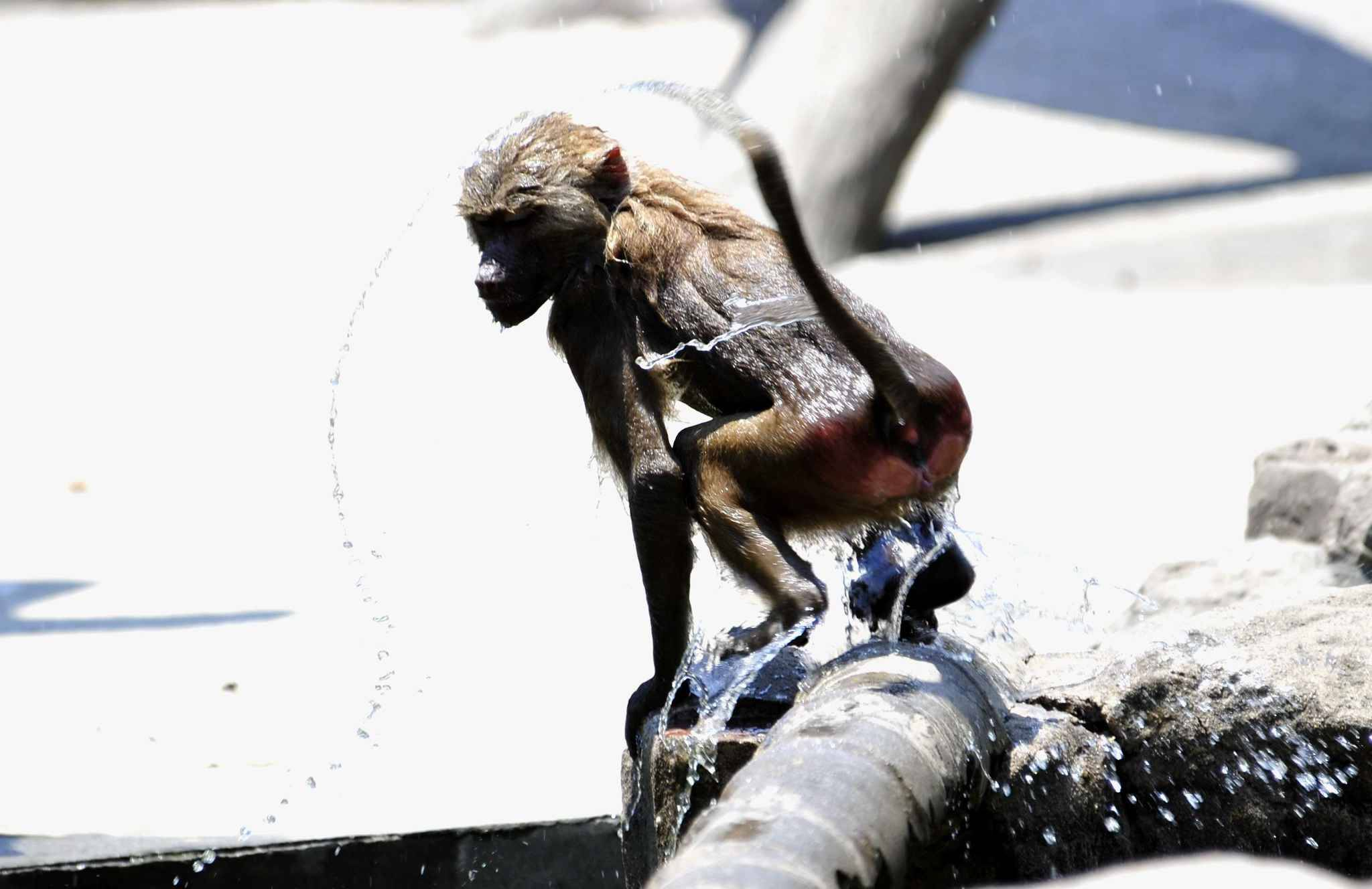 (170721) -- SHANGHAI, July 21, 2017 (Xinhua) -- A baboon plays water at Shanghai Zoo in east China's Shanghai, July 21, 2017. The meteorological department of east China metropolis Shanghai recorded an air temperature of 40.9 degrees Celsius (105.6 degrees Fahrenheit) at around 2 p.m. Friday, the highest on record in the city in 145 years. The Shanghai Zoo has took many measures to keep the animals cool.