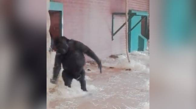 Video un gorille danse un ballet dans un zoo for Zoo haute loire