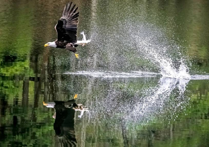 A bald eagle is perfectly reflected in a perfectly still lake as it catches a fish in its huge yellow talons.   The incredible scene was captured by Photographer Darren Labiuk at a lake on top of Triangle Mountain in Victoria, Canada.   Photographer Darren Labiuk had been fishing with his sons when he noticed the eagle diving towards to lake to catch the fish.   Please byline: Darren Labiuk/Solent News