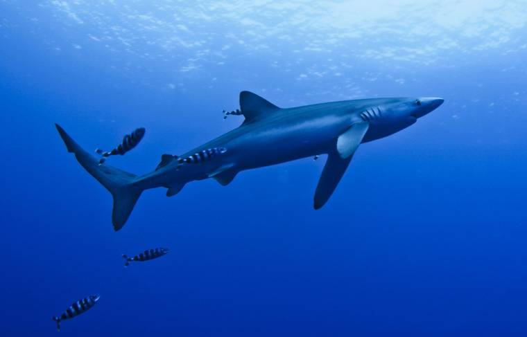 Illustration requin bleu.