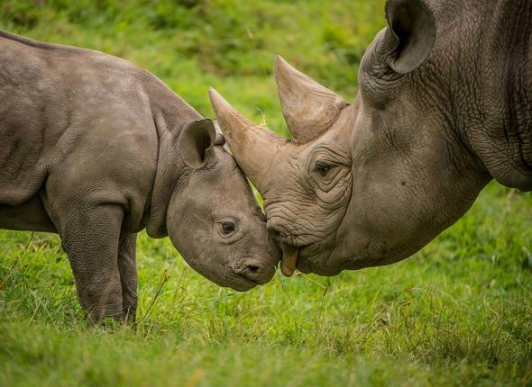 "A two-month-old baby rhino tries to get the attention of its mum in the most adorable way at Chester Zoo.  The footage of bolshie calf Ike playfully jumping on mum Kitani has emerged ahead of World Rhino Day - celebrated globally on Friday 22 September.  Ike is one of two critically endangered Eastern black rhino calves born only weeks apart at the zoo earlier in the year.  The arrival of the precious duo was hailed by conservationists as it is believed less than 650 of the sub-species now remain across Africa, according to the International Union for the Conservation of Nature (IUCN).  In the wild, a huge surge in illegal poaching, driven by a global increase in demand for rhino horn to supply the traditional Asian medicine market, has resulted in around 95% of all rhinos being wiped out in the last century.  The issue is being driven by the street value of rhino horn, which is currently changing hands for more per gram than gold, diamonds and cocaine. However, modern science has proven that rhino horns are made primarily of keratin, the protein found in hair, fingernails and animal hooves.  Stuart Nixon, the zoo's Africa Field Programmes Coordinator, said:  ""You're likely to get exactly the same health benefits by chewing your own fingernails as you are taking powdered rhino horn. Yet in South African alone, more than 500 rhinos have been killed so far this year.  ""The IUCN estimates that, on average, almost two rhinos have been killed every day in Africa for nine straight years and they could be extinct in as little 10 years.  ""Rhinos need protecting, not poaching.""  Chester Zoo is currently home to 10 critically endangered Eastern black rhinos and two greater one-horned rhinos.  Where: Chester, United Kingdom When: 21 Sep 2017 Credit: Chester Zoo/Cover Images  **EDITORIAL USE ONLY. IMAGES ONLY TO BE USED IN CONJUNCTION WITH EDITORIAL STORY.**/COVER32339234/EDITORIAL USE ONLY. IMAGES ONLY TO BE USED IN CONJUNCTION WITH EDITORIAL STORY./1709211304"