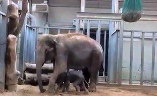 Capture d'écran d'une vidéo de Tom, l'éléphanteau né le 19 mars 2014 dans un parc animalier d'Auvergne.