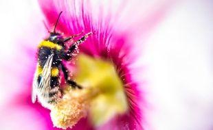 Un bourdon récupère du pollen sur une fleur.