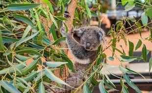 Un koala à Brisbane (Australie) en janvier 2020