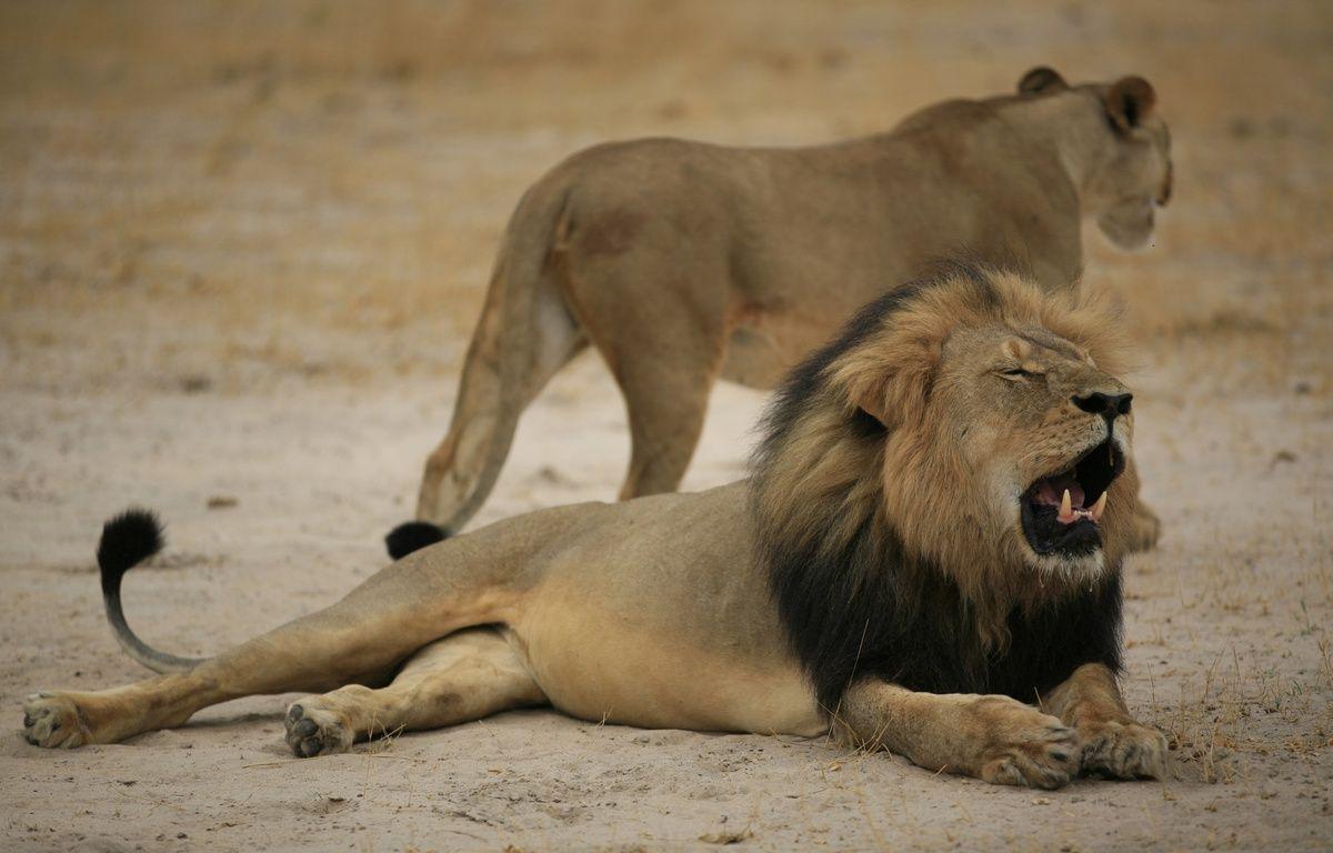 Une photo du lion Cecil, mâle dominant d'un parc au Zimbabwe abattu par un chasseur américain. – AFP
