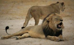 Une photo du lion Cecil, mâle dominant d'un parc au Zimbabwe abattu par un chasseur américain.