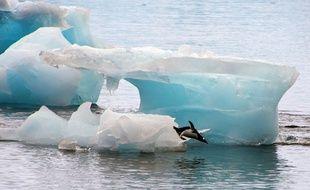Coincés par un iceberg, les manchots du cap Denison doivent parcourir 120 kms pour se nourrir.