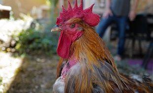 Le voisin qui a tiré sur le coq Marcel sera jugé en décembre à Privas, en Ardèche. Illustration.
