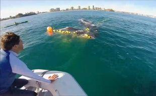 Sauvetage d'un baleineau en Australie
