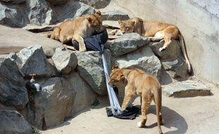 Des tigres du zoo d'Hitachi, au Japon, s'amusent avec des jeans, le 11 juillet 2014. Ces pantalons seront ensuite vendus.