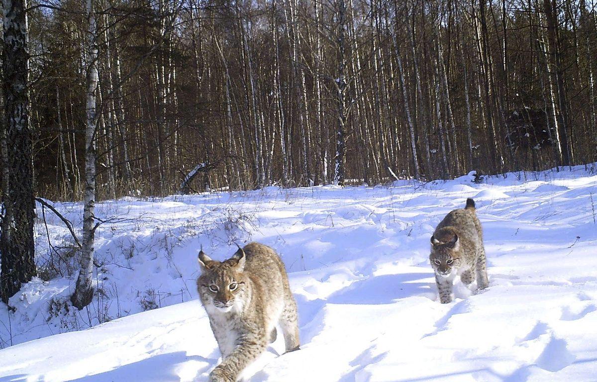 Des lynx aperçus dans la zone interdite de Tchernobyl. – Sergiy Gaschak/AP/SIPA;