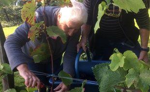 L'association des vignerons de Garo a réalisé ses premières vendanges de cépage rondo, planté à Saint-Suliac et qui donnera du vin rouge.