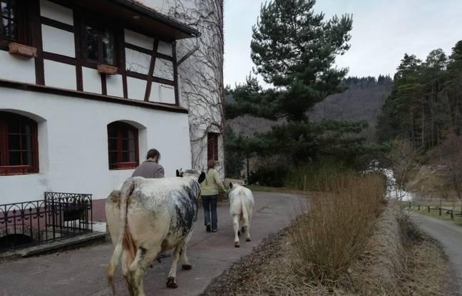 Depuis deux mois maintenant, les deux éleveurs sont aux petits soins avec leurs deux bêtes avant le Salon de l'Agriculture.