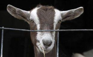 Une chèvre dans une ferme à Brandon, aux Etats-Unis, le 14 avril 2011.