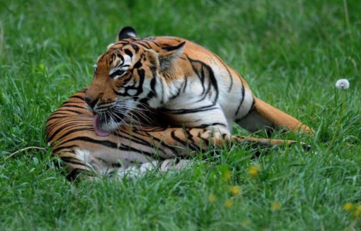 A l'occasion de la journée internationale du tigre, Interpol a annoncé dimanche les résultats d'une vaste opération de sauvegarde de cette espèce qui a conduit à près de 40 interpellations dans quatre pays d'Asie. – Michal Cizek afp.com