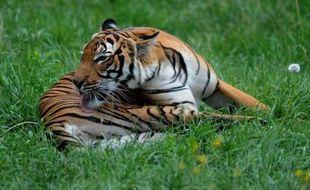 A l'occasion de la journée internationale du tigre, Interpol a annoncé dimanche les résultats d'une vaste opération de sauvegarde de cette espèce qui a conduit à près de 40 interpellations dans quatre pays d'Asie.