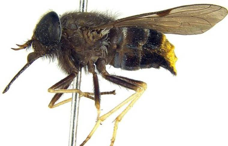 Scaptia Plinthina beyonceae, le taon découvert en Australie baptisé du nom de la chanteuse Beyoncé.
