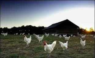 L'éleveur s'est fait dérober une centaine de volailles fines. Illustration.