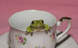 Une grenouille so french dans une cup of tea anglaise