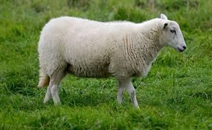 Des moutons à la place des tondeuses dans les vignes en Alsace (Illustration)