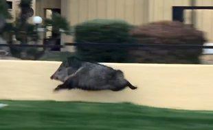 Un cochon courant à tout allure dans les rues de Tucson en Arizona.