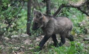 L'un des loups à crinière né à Montpellier