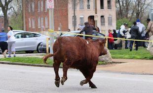 6 vaches se sont échappée d'un abattoir à Saint Louis ( Etats-Unis)