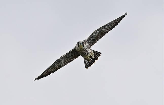 Un des deux jeunes faucons pélerins nés à Bassens en Gironde.