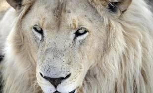 """""""Pour les lions, cela démarrera durant la saison de chasse 2016 et 2017 et de façon très prudente"""", a précisé à l'AFP la ministre du Tourisme Jean Kapata"""