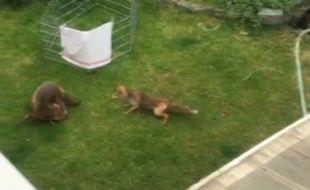 Dans cette chamaillerie, ils sont trois renards à enchainer les cabrioles et les prises de bec avant de regagner la forêt.