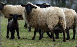 La filière ovine française, en constante régression, compte sur le soutien public pour maintenir moutons et brebis sur l'ensemble du territoire, notamment les régions défavorisées du sud.