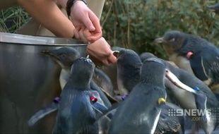 15 pingouins ont survécu à l'attaque du renard au zoo de Melbourne.
