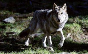 Un loup dans le parc du Mercantour, le 13 novembre 2013