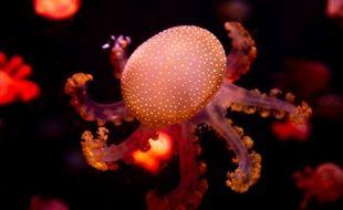 Une méduse photographiée dans un aquarium en Thaïlande.