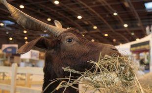 Une chèvre du Rove, au Salon de l'agriculture 2010 à Paris