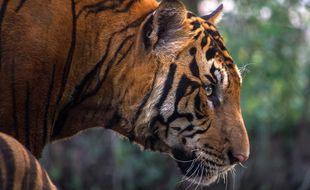 Le tigre du bengale est une espèce menacée dans le monde.
