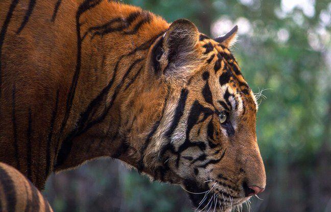648x415 tigre bengale