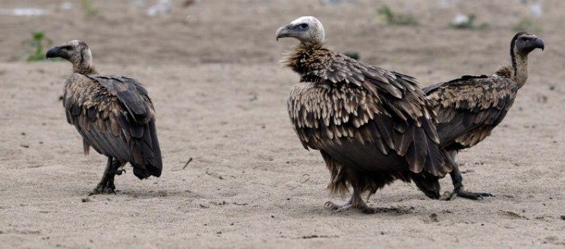 Des vautours