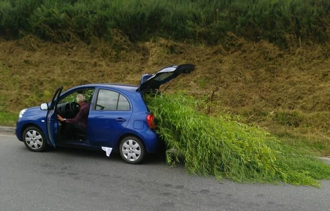 A Plédran, près de Saint-Brieuc, un automobiliste a été verbalisé pour avoir transporté des bambous dépassant largement de son coffre.
