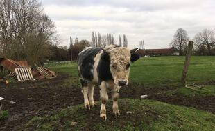 Un veau du troupeau,  soupçonné de maltraitance, dans une ferme de Wambrechies, dans le Nord.
