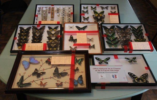 Les saisies de papillons et insectes réalisées par l'Oncfs lors de l'opération