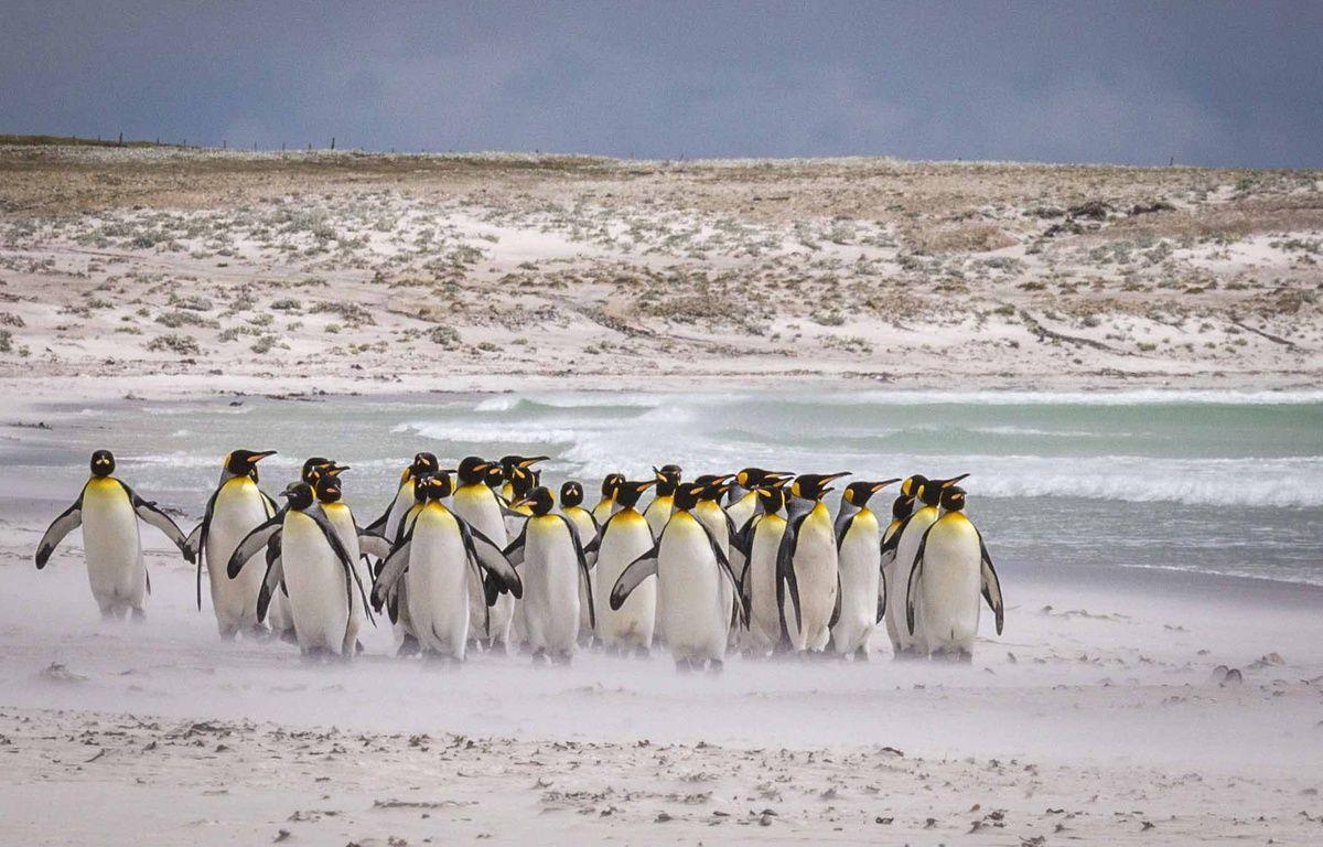 Des manchots empereurs sur la banquise de l'Antarctique, décembre 2016. – Roger Clark