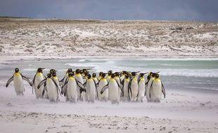 Des manchots empereurs sur la banquise de l'Antarctique, décembre 2016.