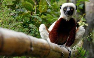 Un lémurien, espèce endémique de Madagascar.