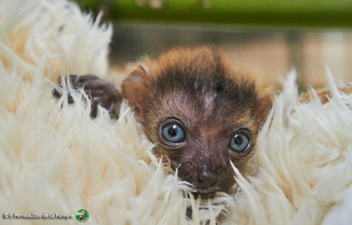 Le petit lémur aux yeux bleus est pris en charge par des  soigneurs à la nurserie du zoo.  – F.Perroux / Zoo de la Palmyre