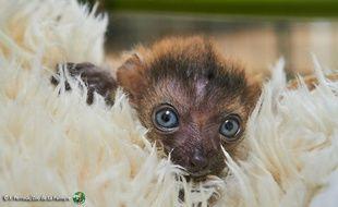 Le petit lémur aux yeux bleus est pris en charge par des  soigneurs à la nurserie du zoo.