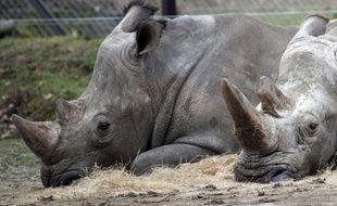 Bruno, à gauche, et Gracie, à droit, les deux derniers rhinocéros à vivre au zoo de Thoiry.