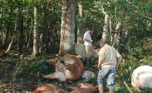 Les cadavres de vaches et de veaux au pied de l'arbre.