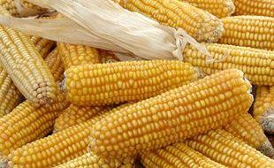 Du maïs OGM de Monsanto MON 810.