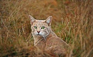 En Australie, les chats errants menacent de nombreuses espèces.